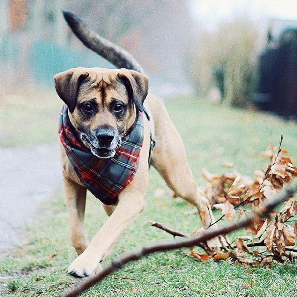 hund-halstuch-schottenkaro-kariert-grau-rot-ikarusdoodle